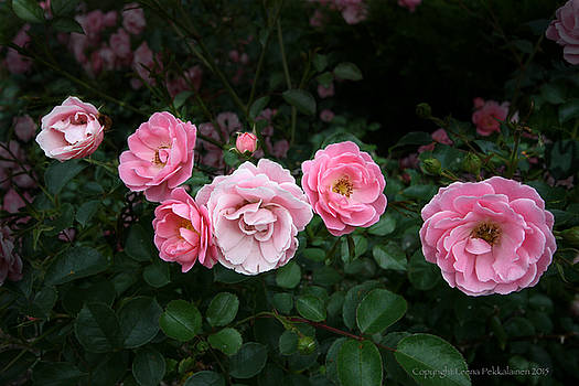 Pink Roses by Leena Pekkalainen