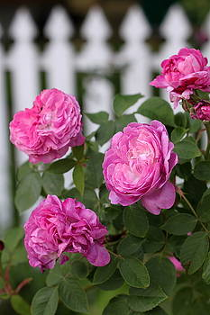 Pink Roses by Sherry Hahn