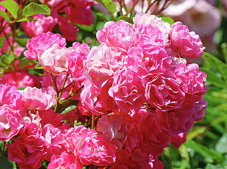 Baslee Troutman - PINK ROSES Summer Rose Garden Roses Giclee Art Prints Baslee Troutman