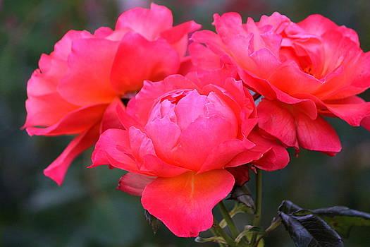 Rosanne Jordan - Pink Roses Trio