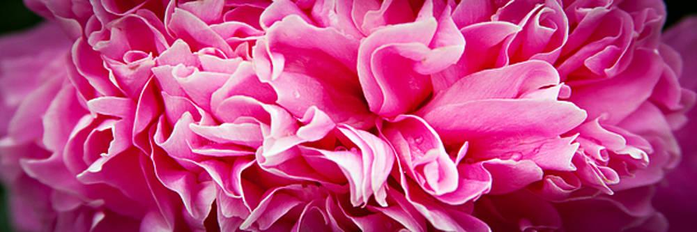 Pink Ruffles by Laura Wiksten
