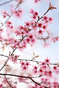 Pink Sakura Flowers by Keattikorn Samarnggoon