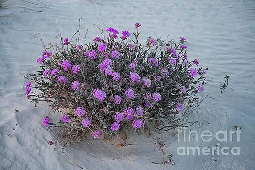 Bob Phillips - Pink Sand Verbena