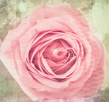 Pink, Single Rose by Cynthia Wolfe
