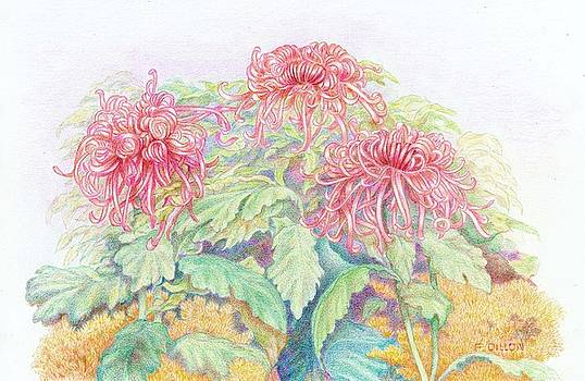 Pink Spider Mums by Frances  Dillon