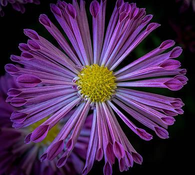 Pink Spider by Susan Hamilton