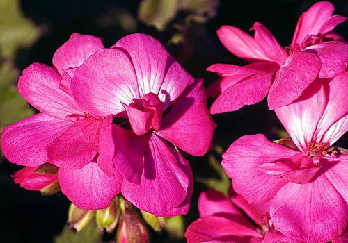 Clayton Bruster - Pink Spring Florals