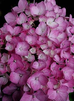 Pink Surprise by Kim Blumenstein