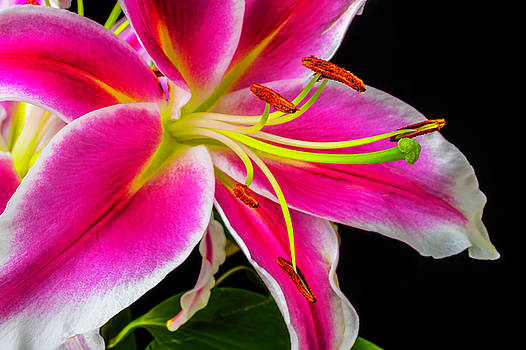Pink Tiger lily Close Up by Garry Gay