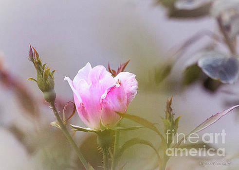 Pink by Todd A Blanchard