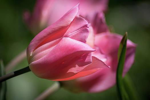 Pink Tulip by Elyssa Drivas