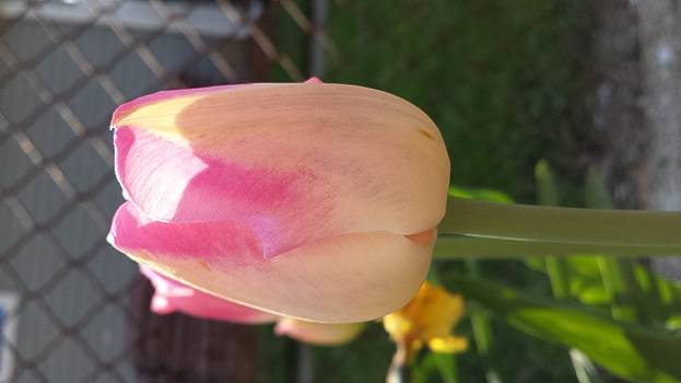 Pink tulip by Kelley Giffen