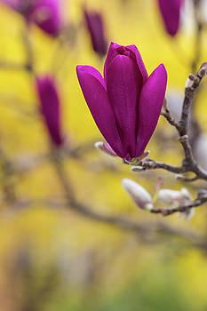 Pink Tulip Magnolia Blossom by Karen Forsyth
