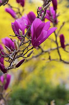 Pink Tulip Magnolia Tree by Karen Forsyth