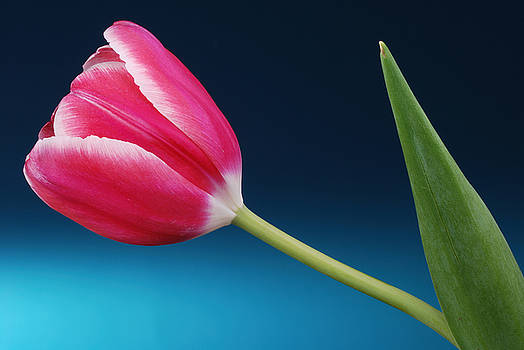 Pink Tulip by Richard Hayman