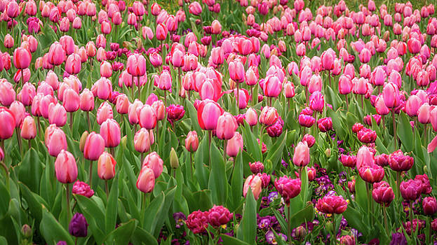 Pink Tulips at Floriade in Canberra, Australia by Daniela Constantinescu