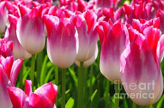 Pink Tulips bloom in Holland  by Akshay Thaker