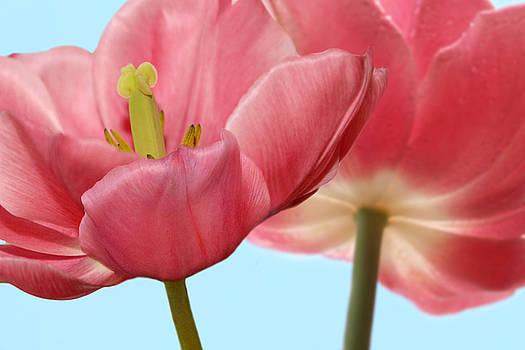 Nina Bradica - Pink Tulips in Spring