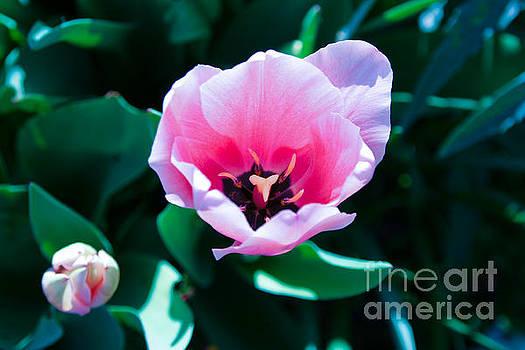 Pink Tulips by Julia Rigler