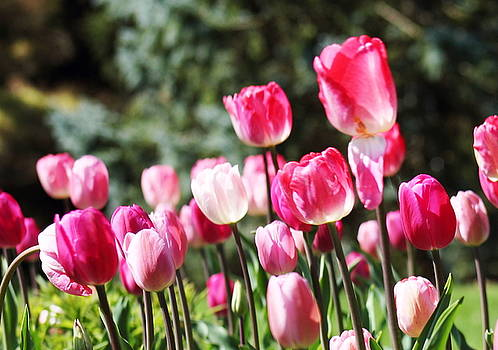 Pink Tulips by Monica Whaley