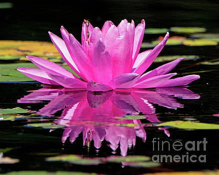 Pink Water Lilly by Lloyd Alexander