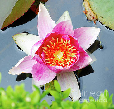 Pink Water Lilly by Richard Gibb