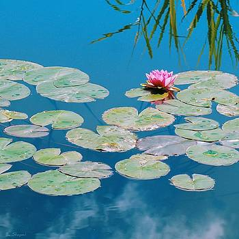 Pink Water Lily by Brian Shepard