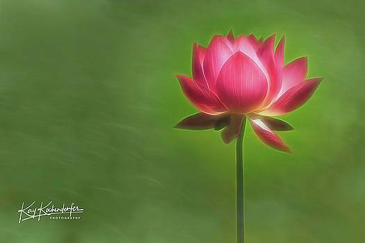 Pink Water Lily by Kay Kochenderfer
