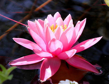 Pink Water Lily by M Diane Bonaparte