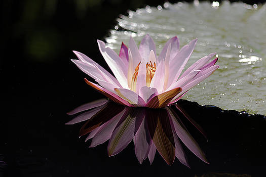 Pink Water Lily Reflection by Mark Michel
