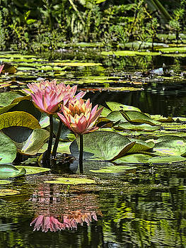 Pink Water Lily Reflections by Bill Barber
