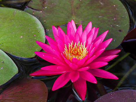 Pink Waterlily Garden by Paula Ponath