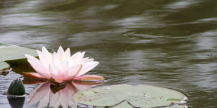 Pink Waterlily by Vivian Bound
