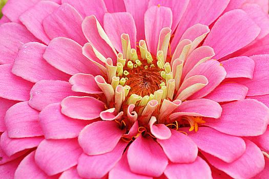 Pink Zinnia Close Up by Keattikorn Samarnggoon