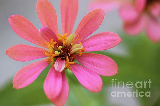 Pink Zinnia Flower by Karen Adams