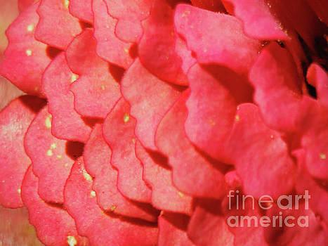 Zinna Flower Petals  by Carol F Austin