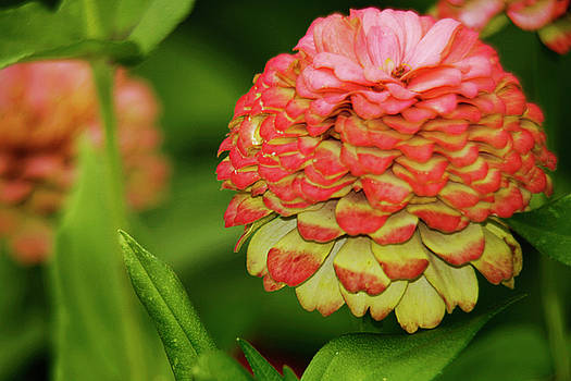 Pink Flower Zinnia Wall Art Decor Print by Carol F Austin