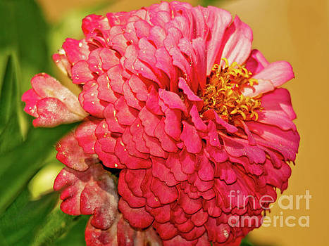 Pink Zinnia fresh from the garden by Carol F Austin