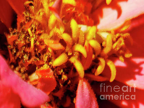 Pink Zinnia Flower Macro Close-up by Carol F Austin
