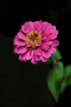 Pink Zinnia by Nancy Kirkpatrick