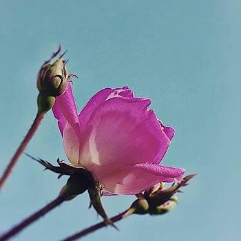 #pinkrose #negativespace by Lisa Pearlman