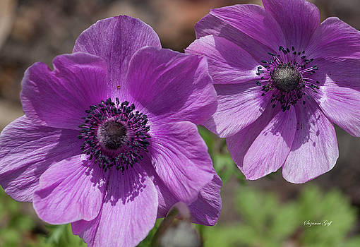 Pinky Purple Cosmos by Suzanne Gaff