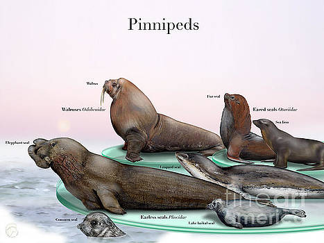 Pinnipeds  - Seals  - Walruses Odobenidae - Eared seals Otariidae -  Earless seals Phocidae by Urft Valley Art