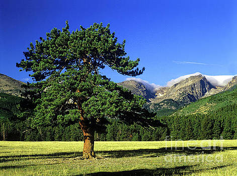 Pine tree, Rocky Mountain National Park, Colorado by Kevin Shields