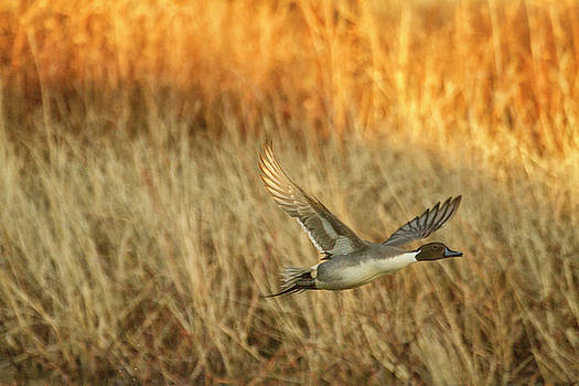 Pintail at dusk by Ruth Jolly
