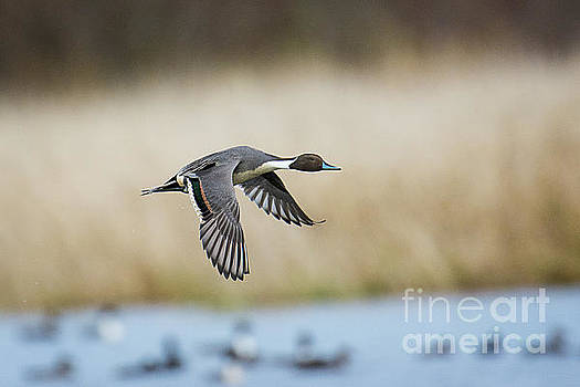 Pintail Duck by Craig Leaper