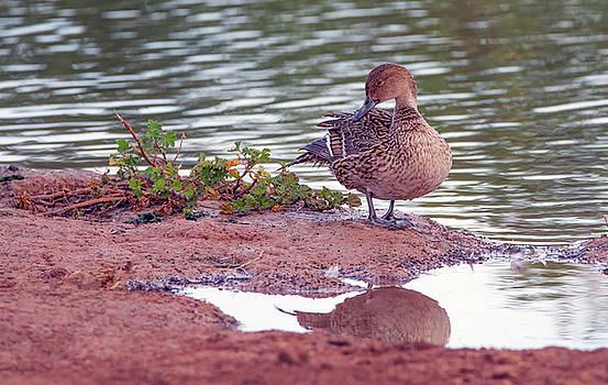 Pintail Duck Female 7384-021418-1cr by Tam Ryan