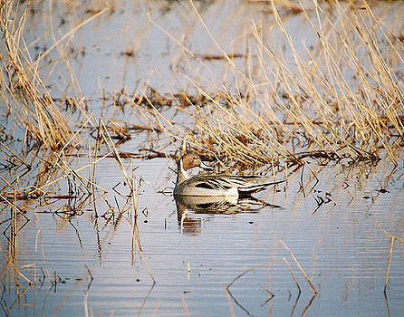 Pintail Pose by Brent Easley