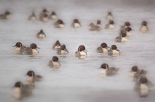 Pintail Repeat  by Kelly Marquardt