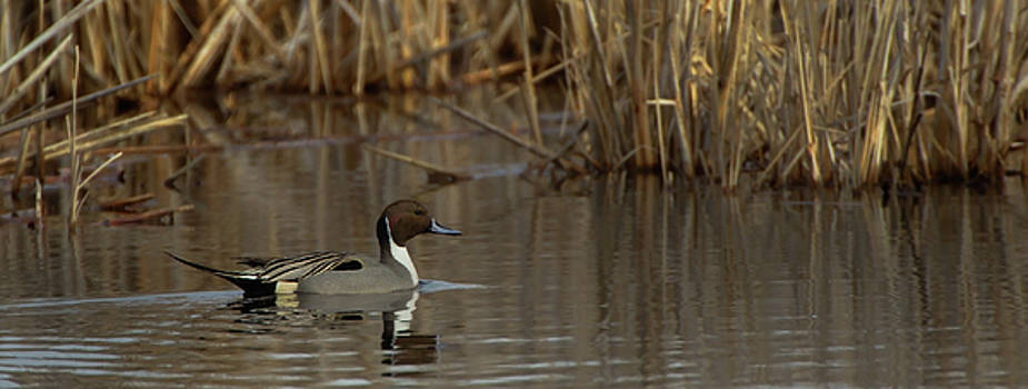 Pintail Scene  by Timothy McIntyre